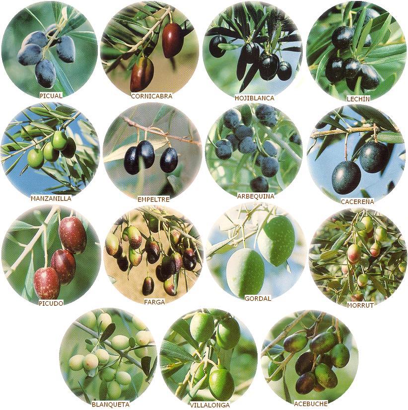 Tipos de Aceite de Oliva según la aceituna