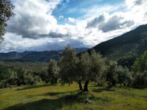 cuantos-olivos-hay-en-jaen