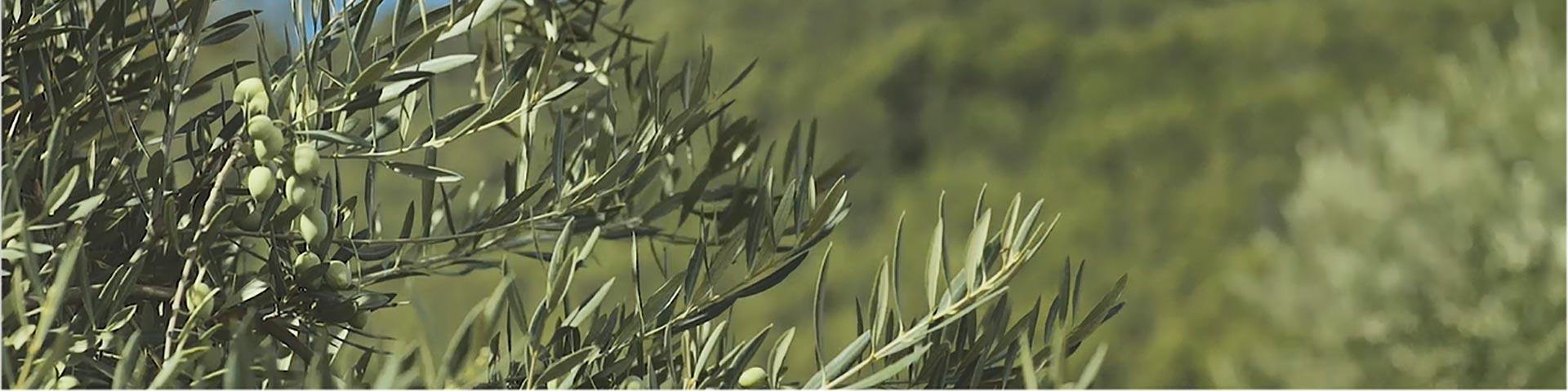 olivar-1